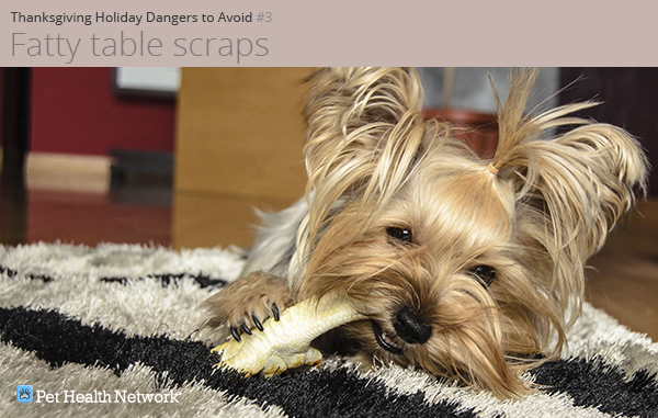 Yorkshire terrier chewing on a bone