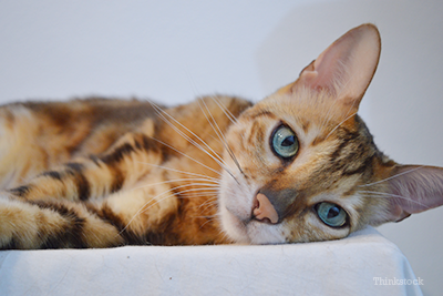 Bengal laying down