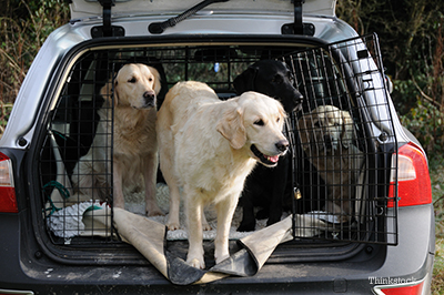 Golden Retrievers in a large car crate