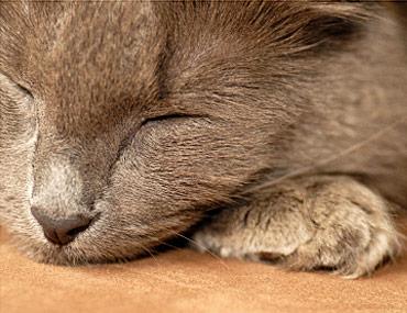 Cirrhosis in Cats - Feline Liver Disease causing Orange Urine