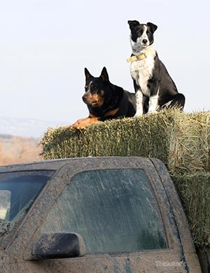 Two dogs sitting on haystack