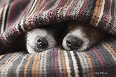Two dogs snuggling under a blanket