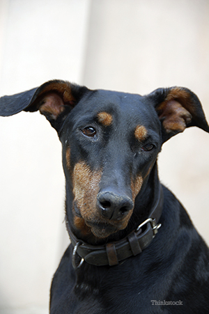 Doberman pinschers upclose