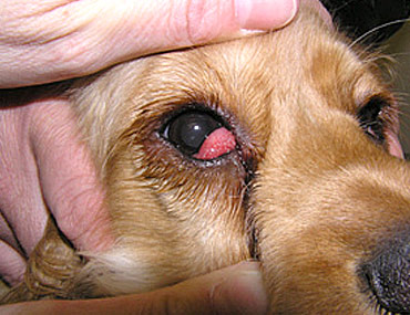 What To Give A Dog For Conjunctivitis