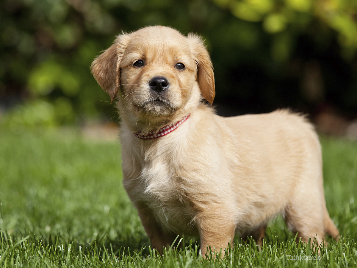Canine Demodicosis Skin Irritating Mites In Dogs