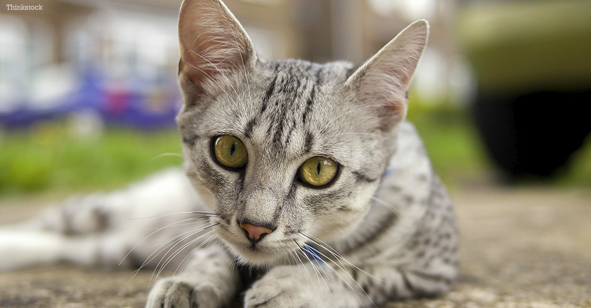 Loss Of Pet >> The Egyptian Mau