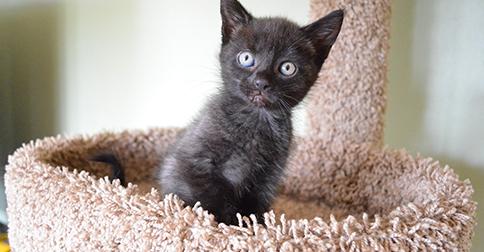 Feline Cryptorchidism Retained Testicles