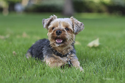 Yorkie laying in the grass