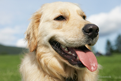 up close shot of a golden retriever