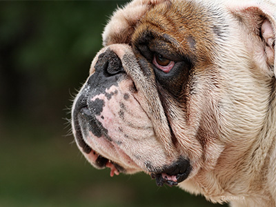 Bulldog with red eyes