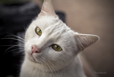 White cat looking into the camera
