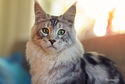 Maine coon cat sitting on couch