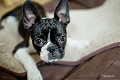 Boston Terrier looking into the camera