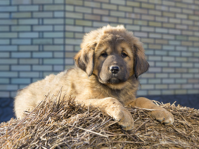 Puppy on hay