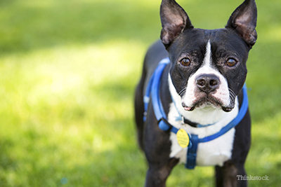 Boston terrier at park