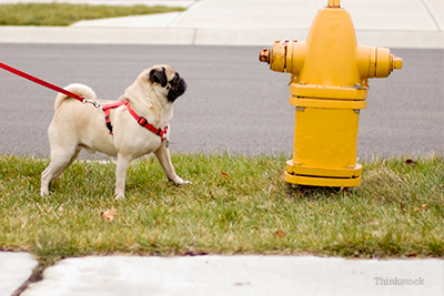 Pug at fire hydrant