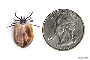 Tick the size of a quarter