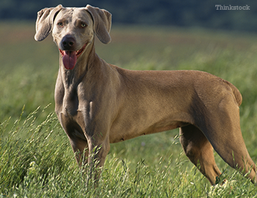 weimaraner78715491.png?itok=-AMJCnKF