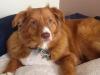 Fibrosarcoma in Dogs