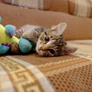 adopted cat plays with toy
