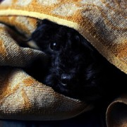 Dog hiding under blankets is scared of thunder