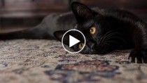New Video Proves Black Cats Are Very Good Luck
