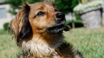 Dachshund Fights off Burglar and Goes Missing