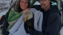 Bald Eagle Rescue Photos: Blanketed and In the Car