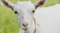 firefighting goat