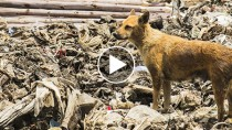 Abandoned Junkyard Dog Risks Life Daily to Care for Other Animals