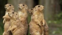 Prairie Dog Deaths Cause Concern about the Plague