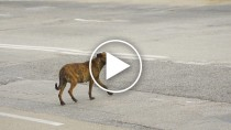Police Save Terrier Dog from Busy Highway