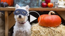 5 Horribly Hilarious Halloween Pet Videos #1