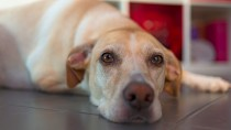Amputation and Prosthetics for Dogs