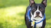 Outbreak of Canine Influenza Virus in Chicago: Is Your Dog at Risk?