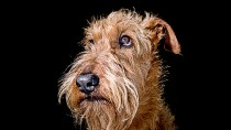 Restoring the Eyesight of a Diabetic Dog
