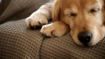 Golden Retriever Sleeping on Couch