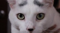 White cat with eyebrows