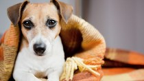Jack Russell in a blanket