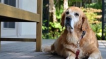 Senior Dog with Leash