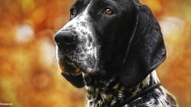 The Bluetick Coonhound