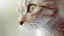 Cancer: Squamous Cell Carcinoma in Cats