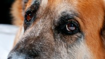 Canine Cognitive Disorder