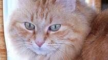 Bladder Stones in Cats