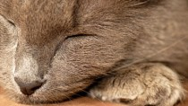 Cirrhosis in Cats