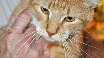 Hypoglycemia in Cats