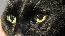 Lower Urinary Tract Disease in Cats