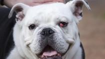 Cherry Eye: Why is My Dog's Eye Bulging?