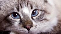 Chronic valvular heart disease in cats