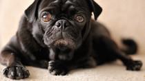 Sad black diabetic dog